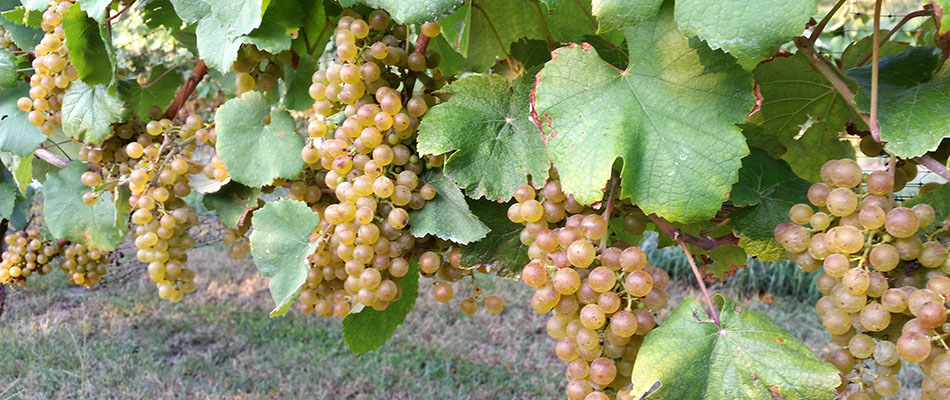 Petite Manseng grapes.