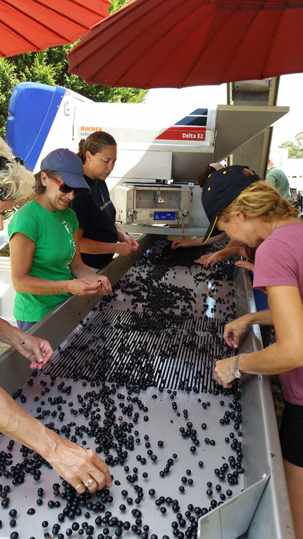 Hand-sorting the grapes.