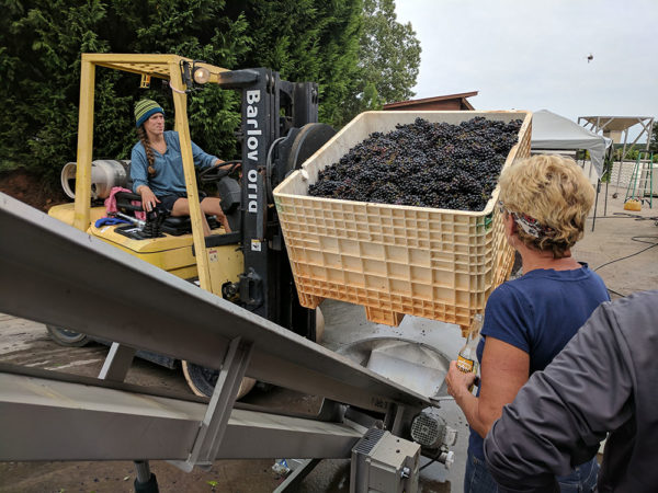 Crates of grapes being emptied into destemmer.