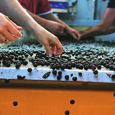 Grape sorting.