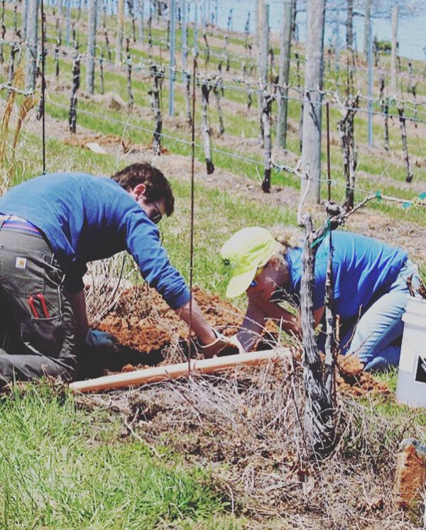 Planting new vines.