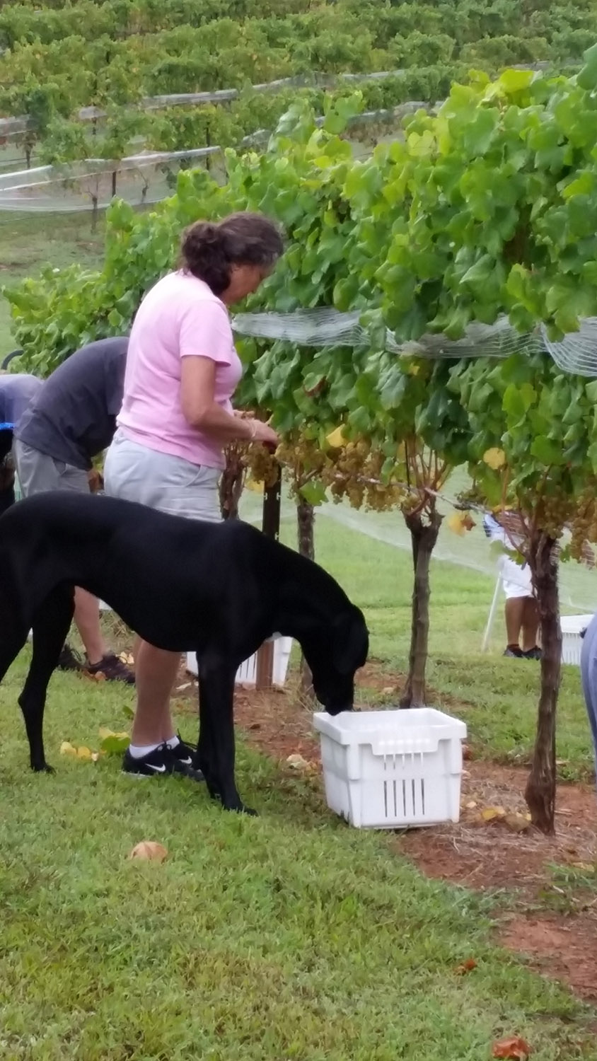 Harvesting grapes with help of dog.