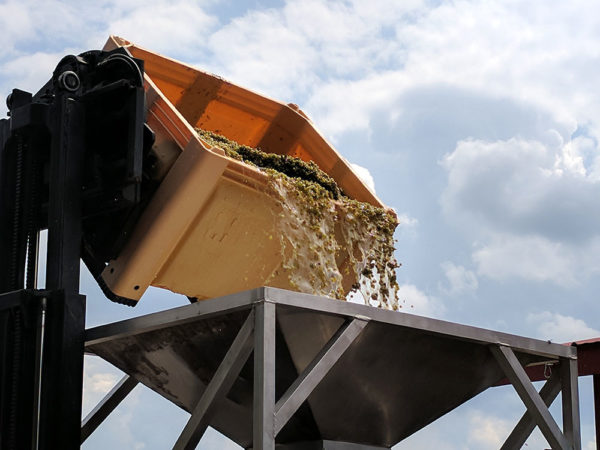 Dumping grapes into the press.
