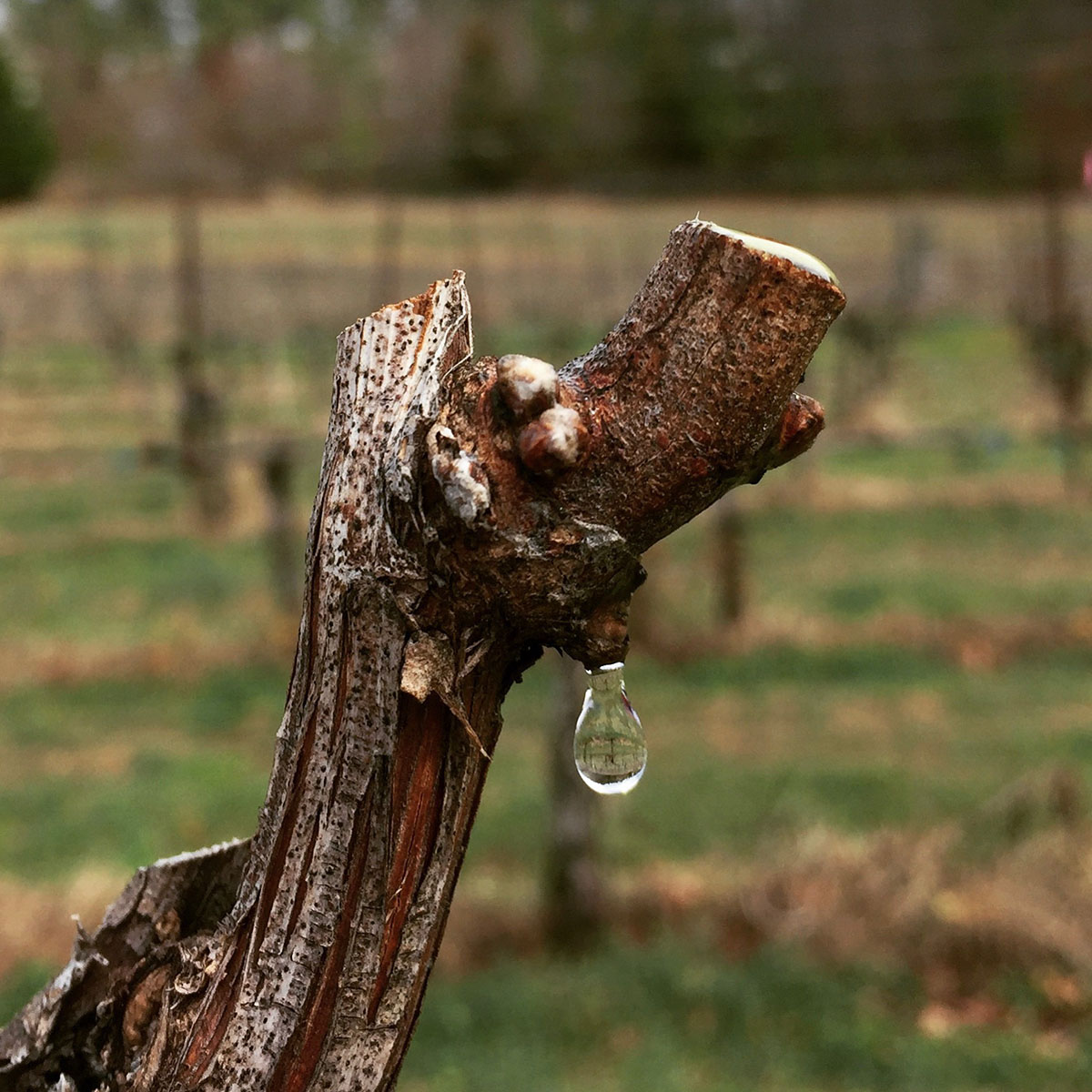 Pruned vine with drip of moisture.