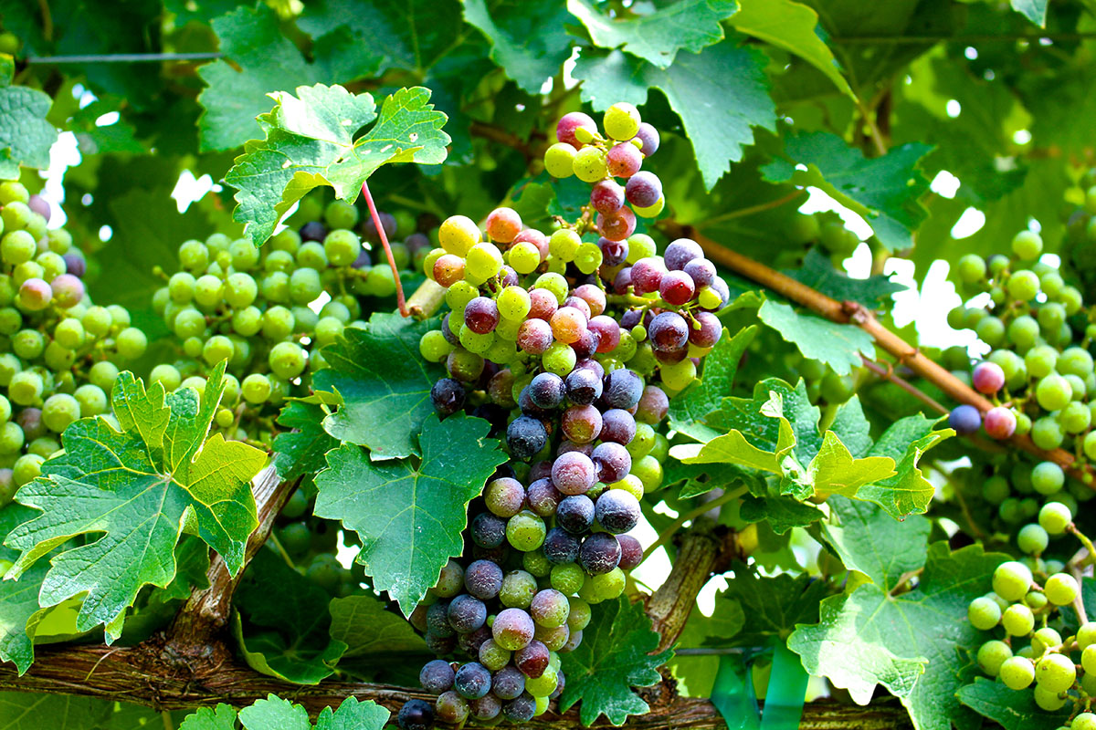 Grapes ripening and turning color.
